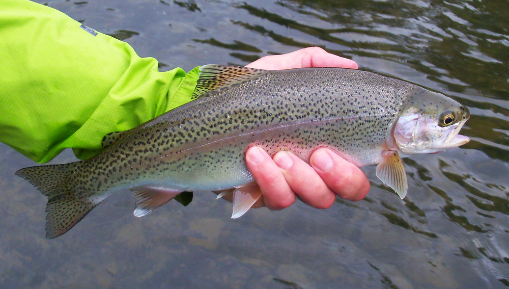 A nice little football that fell victim to an iso. Check out the white on his fins! Photo by: Jim Swift