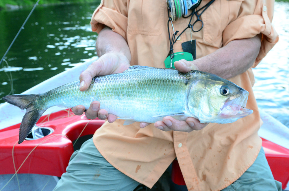 Believe it or not, we STILL have these guys (Shad) swimming around and taking flies! Photo: Bob Lewis