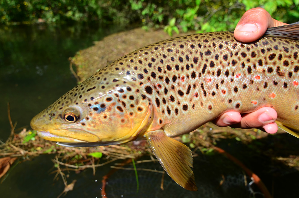 Bob Lewis holds a beautiful West Branch Brown. Photo: Steve Shen