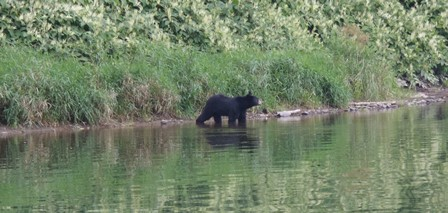The bears have been out a lot this Summer- Photo by Bruce Miller