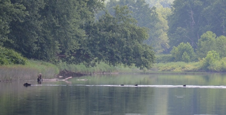 A mama bear with 3 cubs crossing the river!