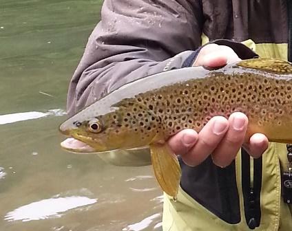 Big fins on a wild brown