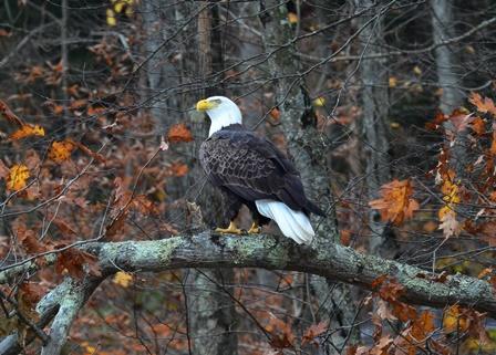 Better Eagle shot- Photo by Bob Lewis