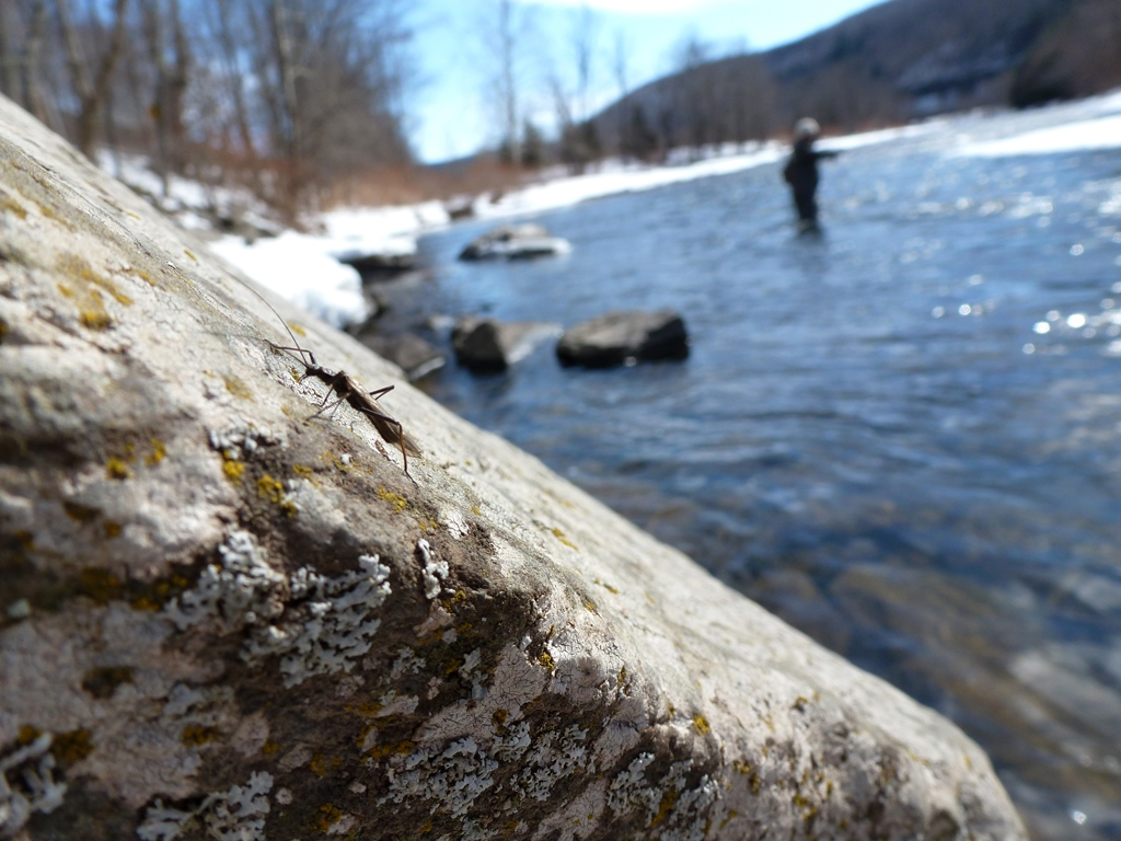 Stonefly on a rock while Jim Swift fishes the Beaverkill today.  Photo by Jared Makowski