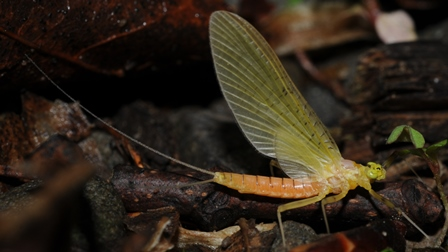 There are some cool mayflies hatching now