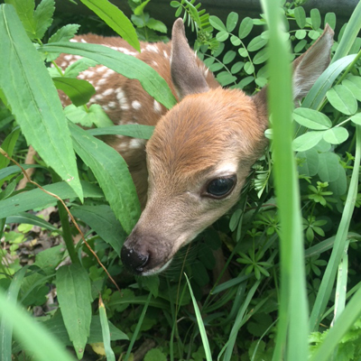 Jared found this fawn along the East Branch yesterday