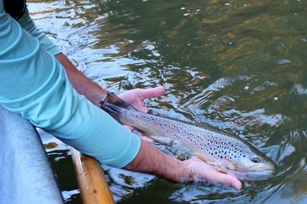 Patrick releasing a nice brown.  Photo by Jared Makowski