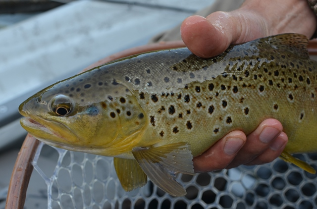 a dry fly eater from last night