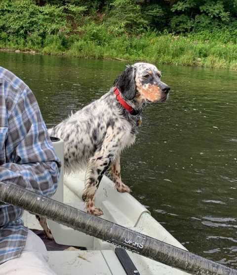 Maxine looking for risers yesterday.  A good fish pointing dog is hard o beat