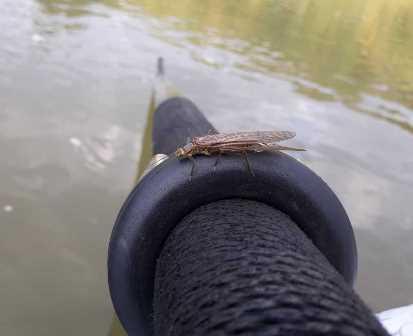 Still a few bigger stoneflies around too