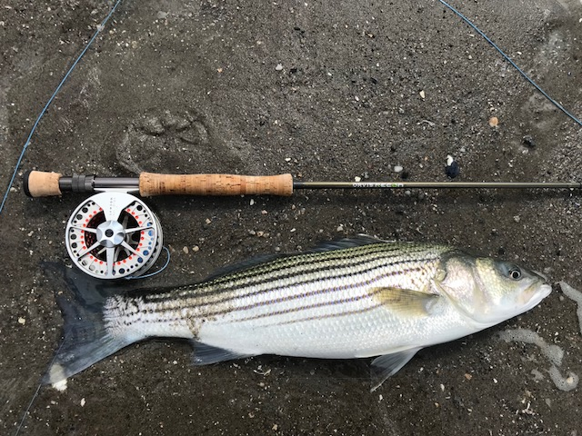 Chris come through with the first local striper on the blog!